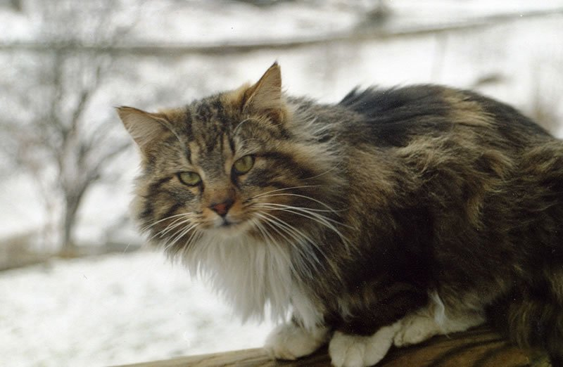 Bellissimi Cuccioli Di Gatto Norvegese Delle Foreste Video