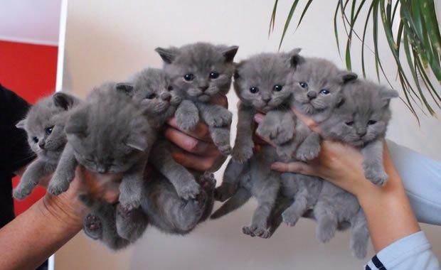 Crescita Di Meravigliosi Gatti Certosino Video Mondo Gatti