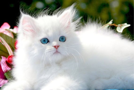 Gatti Persiani Come Curare Occhi E Pelo Mondo Gatti