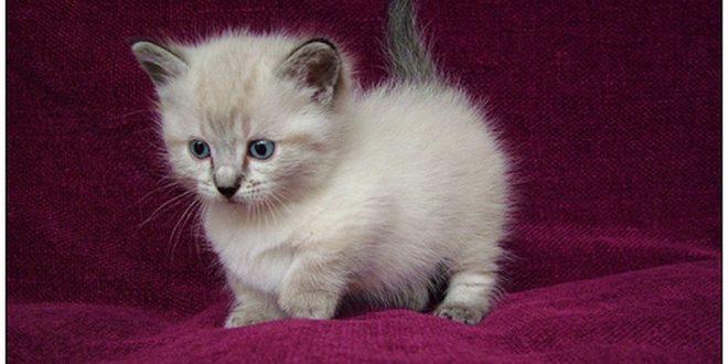 munchkin cat baby