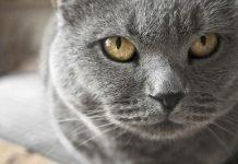 Piccoli cuccioli di gatto certosino