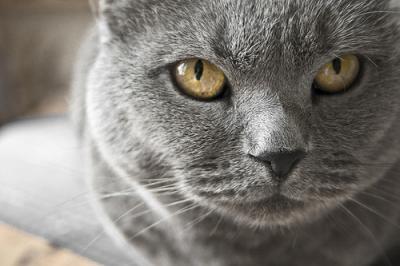 Piccoli Cuccioli Di Gatto Certosino Video Mondo Gatti
