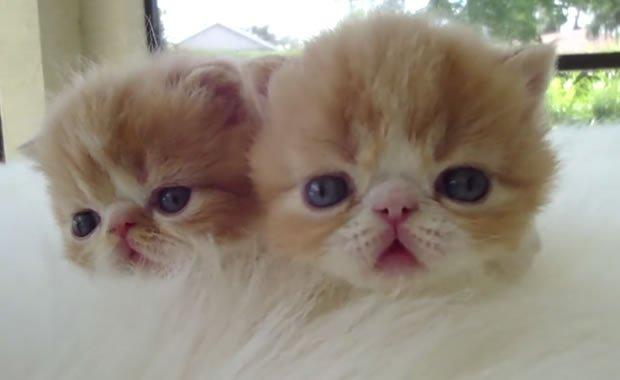 gatti pelo corto