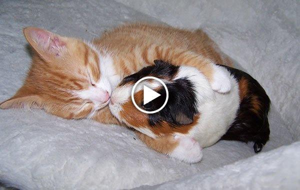 Gattini fanno amicizia con un porcellino d india video for I gattini piccoli