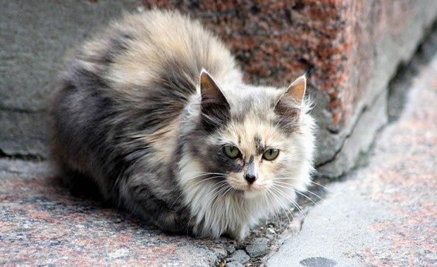 Perché Il Gatto Perde Il Pelo Ecco Tutti I Motivi Mondo Gatti