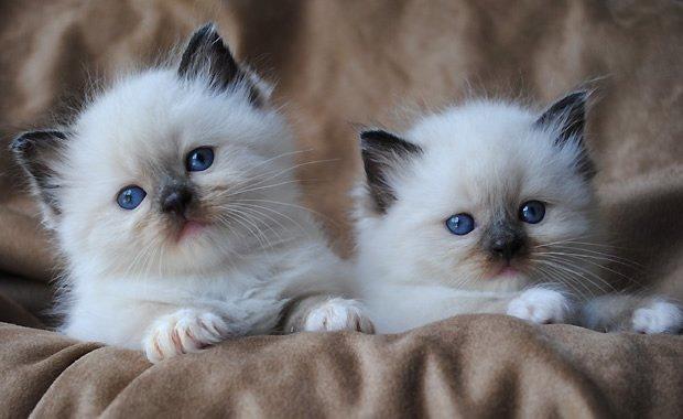 5 Razze Di Gatto Che Più Si Adattano Alla Convivenza Con I Bambini