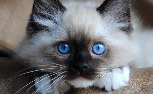 Fluffy Black Kittens With Blue Eyes 5 razze di gatto che p...