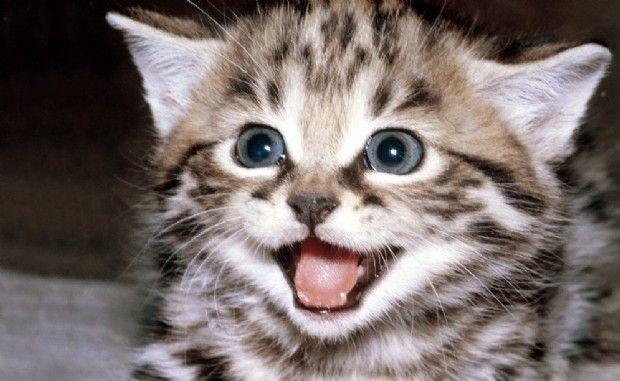 Great In Linea Di Massima Il Miagolio Più Comune è Una Richiesta Di Attenzione Da  Parte Del Gatto, Che Pertanto Vuole Richiamare La Nostra Presenza: In  Questo ...