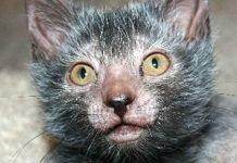 gatto mannaro