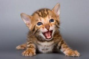Come comportarsi se il tuo gatto miagola troppo