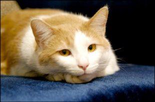 Curiosita come eliminare il cattivo odore della pipi del gatto