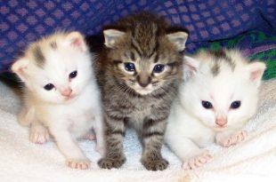 I peli del gatto e le allergie sintomi e rimedi