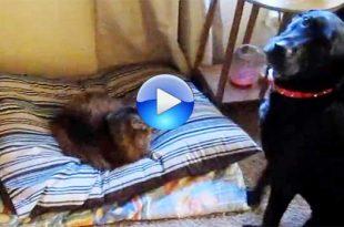Il gatto che ruba la cuccia al cane, da vedere