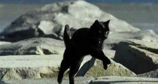 Gatti domestici sono piu agili e potenti delle tigri