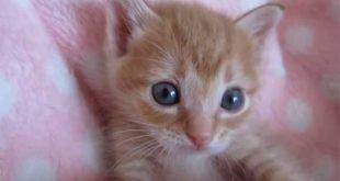 Gattino rosso dolcissimo si fa coccolare