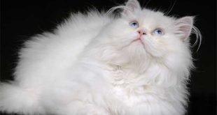 il-persiano-il-gatto-da-salotto-per-antonomasia
