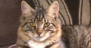 Mittens il primo gatto ermafrodita diventa maschio