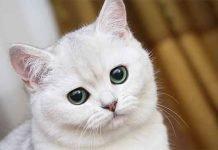 Perche i gatti bianchi spesso sono sordi