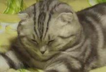 Il gatto che crolla dal sonno