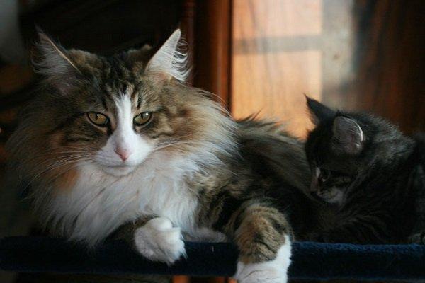 Gatto Norvegese Carattere E Prezzo Mondo Gatti