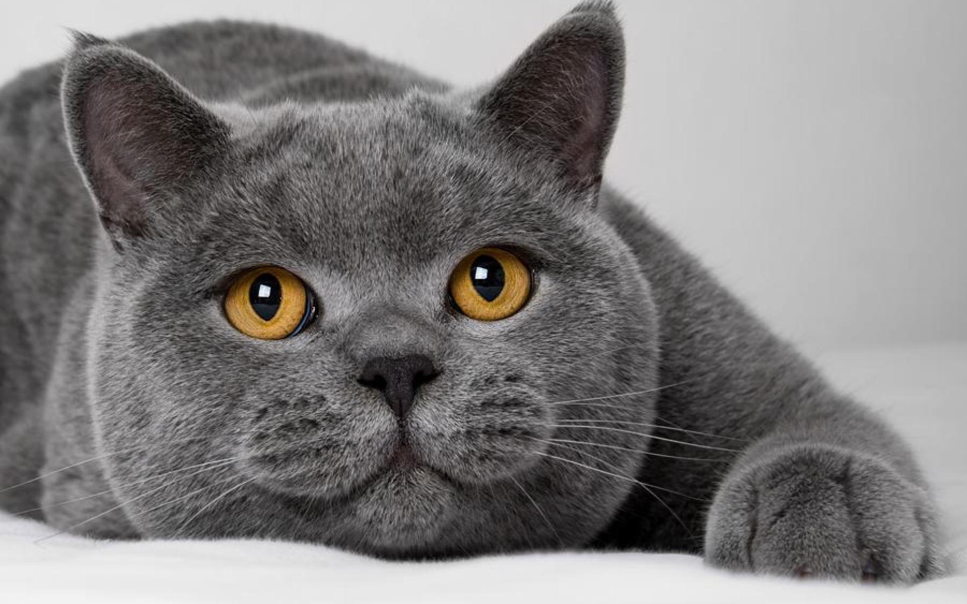 Gatto British Shorthair Carattere E Prezzo Mondo Gatti