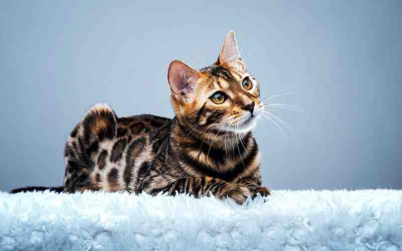 Gatto del Bengala: caratteristiche, cure e salute