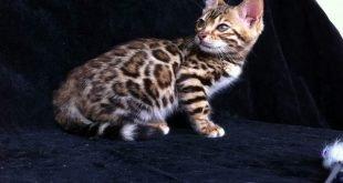 caratteristiche gatti bengala