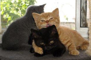 gatto-british-shorthair