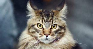 Maine Coon: colori gatto, carattere e prezzo