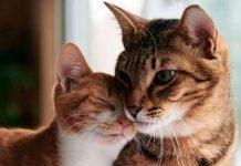 gatto maschio e femmina differenze e come riconoscerli