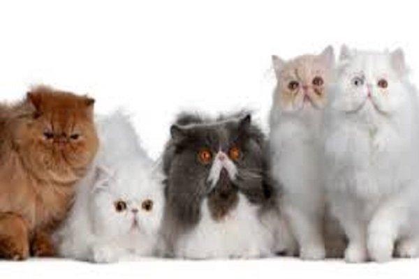 Gatto Persiano Carattere E Prezzo Mondo Gatti