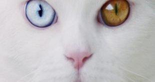 tihon gatto occhi diversi