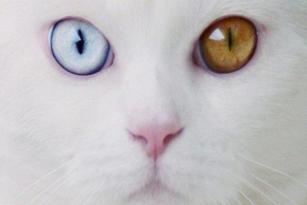 Tihon il gatto gigante dagli occhi diversi mondo gatti for Gatti con occhi diversi