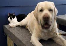 Dog, il primo gatto addestratore di cani di Support Dogs