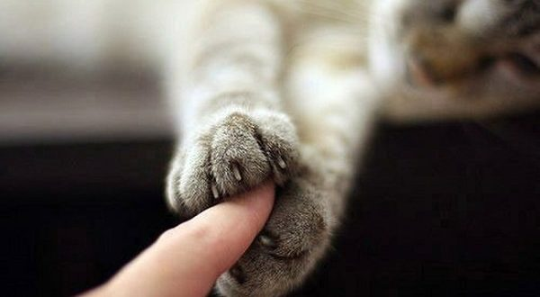 Gatti mancini, anche i felini hanno la zampa dominante