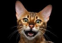 Che verso fa il gatto nel mondo