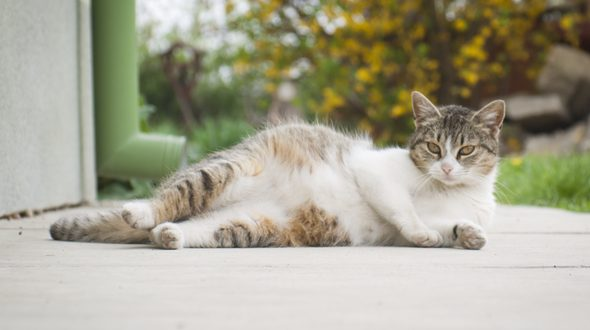 Prendersi cura di una gatta in gravidanza: consigli utili