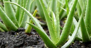 Forever Aloe: tutti i benefici di questa straordinaria pianta