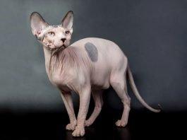 Sphynx (Gatto Nudo Canadese): carattere e prezzo